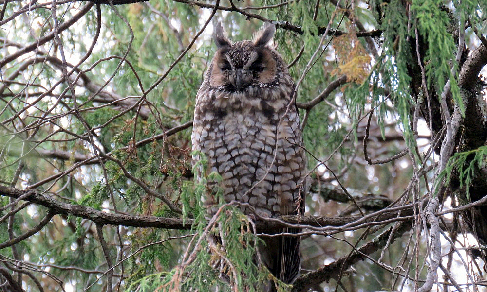 Abyssinian Owl - (Asio abyssinicus)