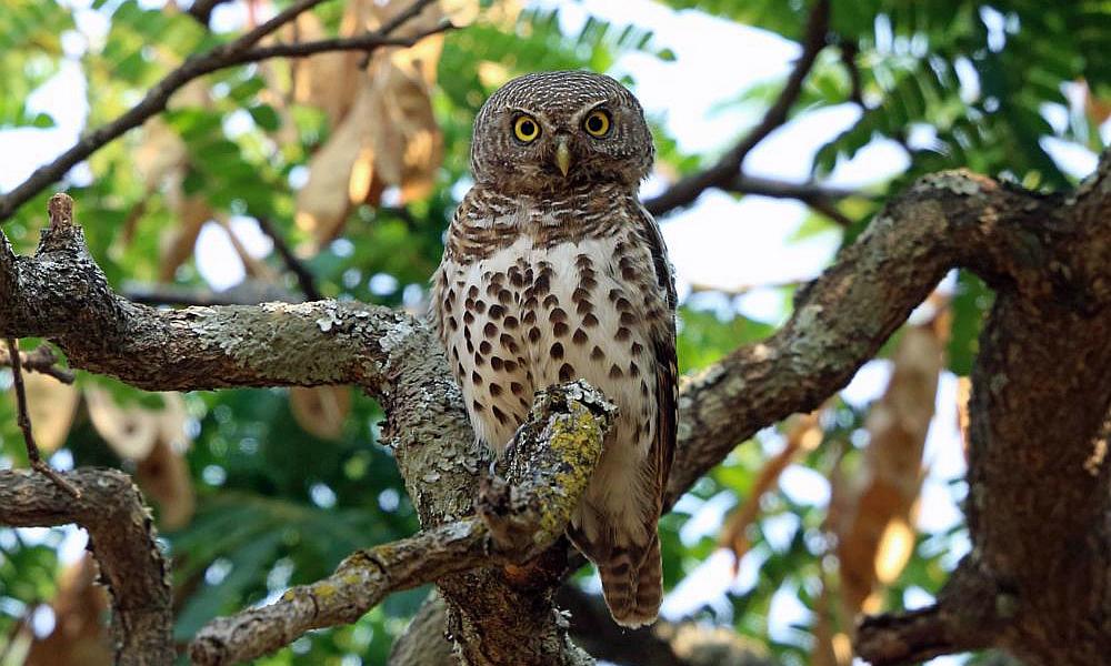 African Barred Owlet  - (Glaucidium capense)