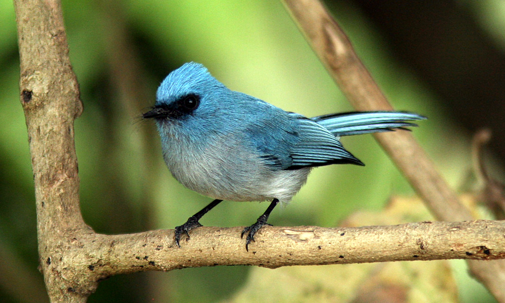 African Blue Flycatcher - (Elminia longicauda)