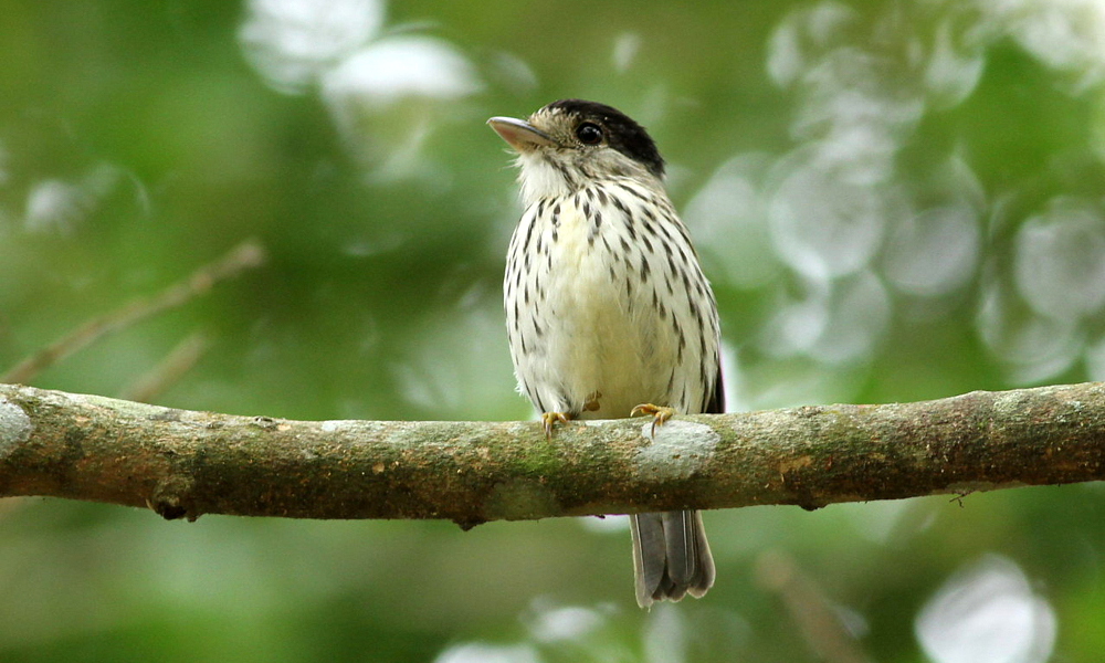 African Broadbill - (Smithornis capensis)