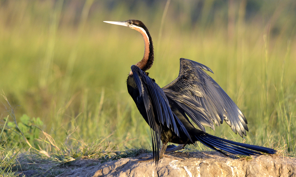 African Darter - (Anhinga rufa)