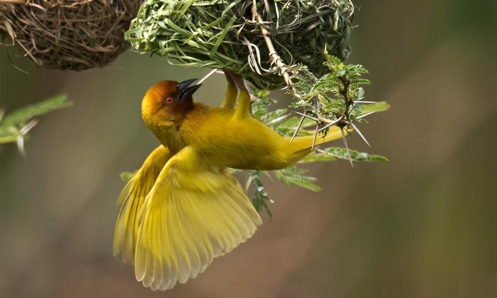 African Golden Weaver - (Ploceus subaureus)
