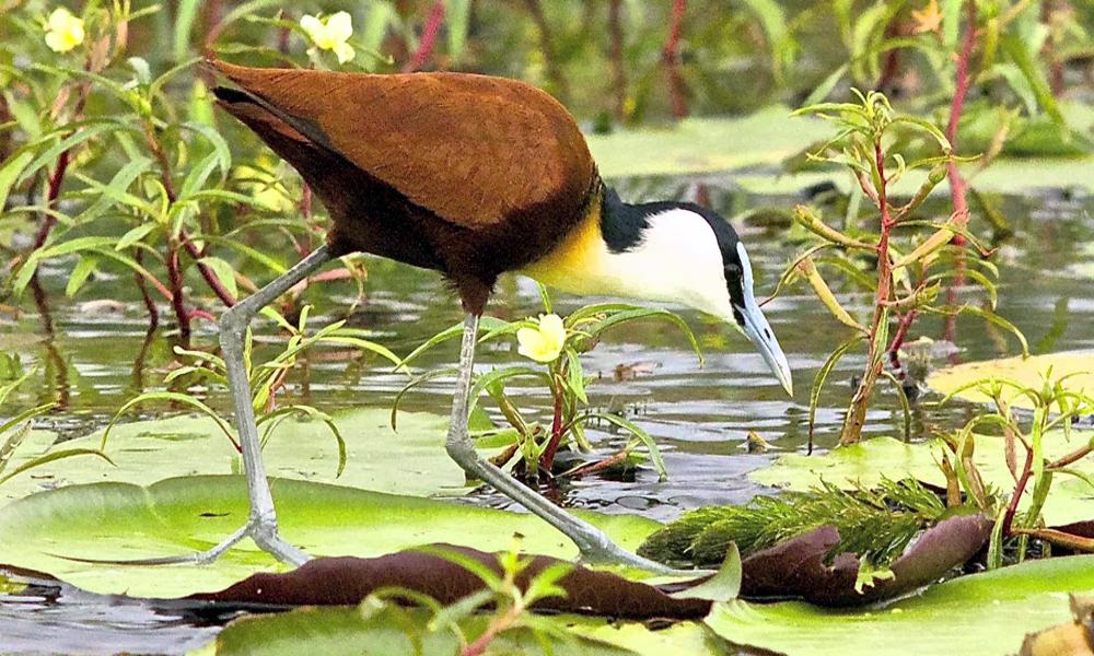 African Jacana - (Actophilornis africanus)