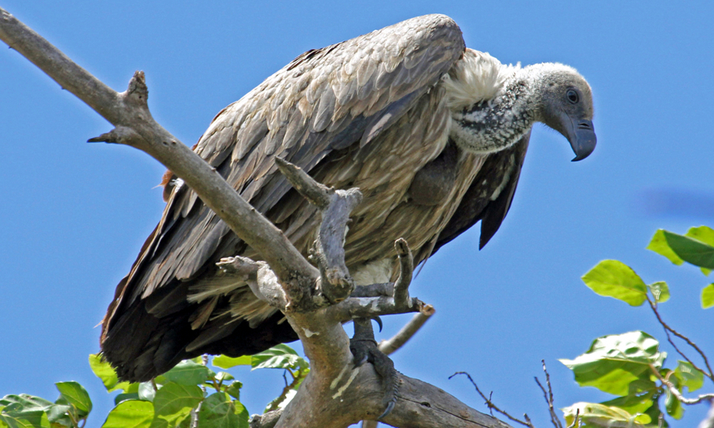 African White Backed Vulture - (Gyps africanus)