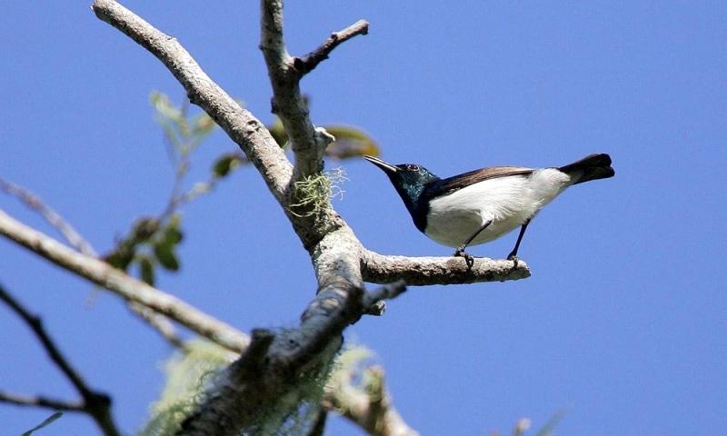 Amani Sunbird - (Hedydipna pallidigaster)