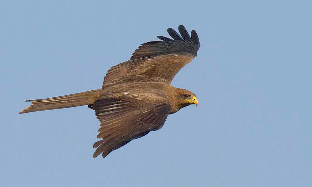 Black Kite - (Milvus migrans)