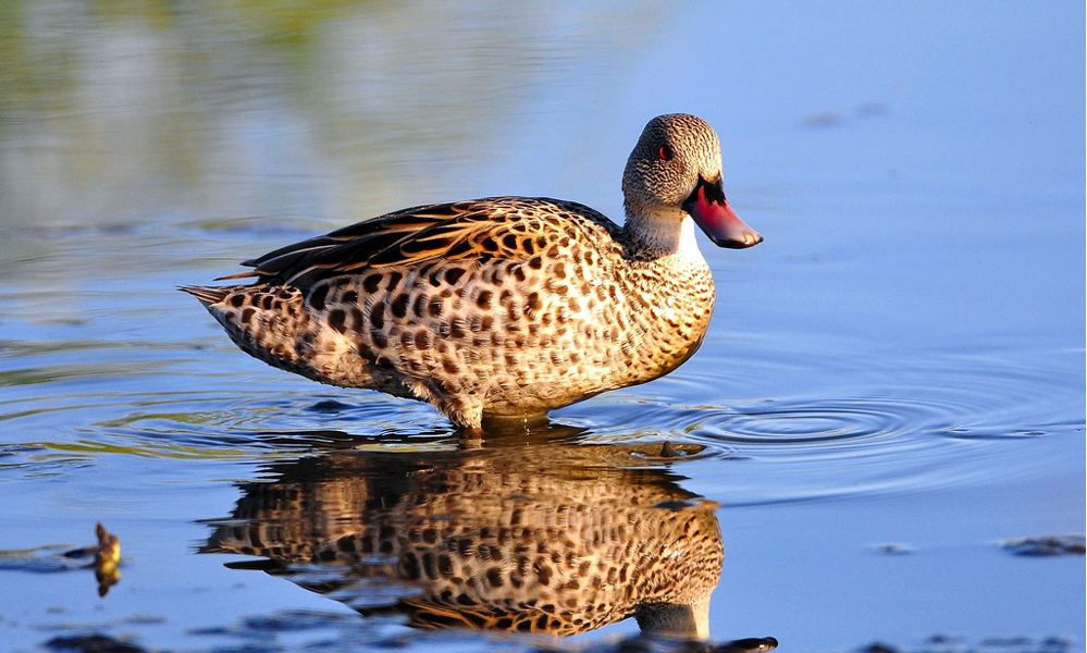 Cape Teal - (Anas capensis)