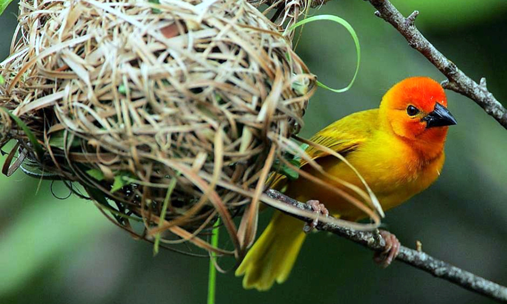 Golden Palm Weaver - (Ploceus bojeri)