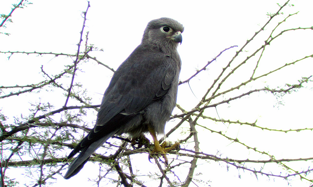 Gray Kestrel - (Falco ardosiaceus)
