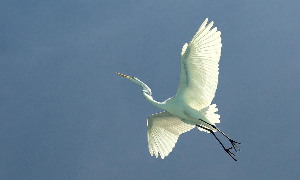 Great White Egret - (Ardea alba)
