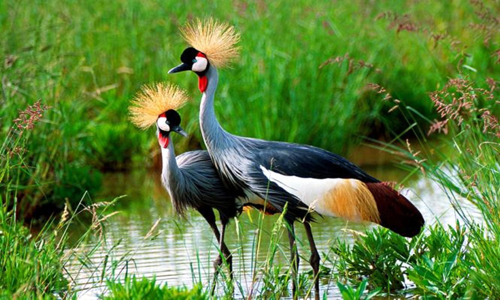 Grey Crowned Crane - (Balearica regulorum)