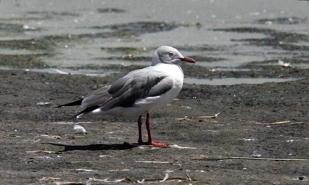 Grey-headed Gull - (Chroicocephalus cirrocephalus)