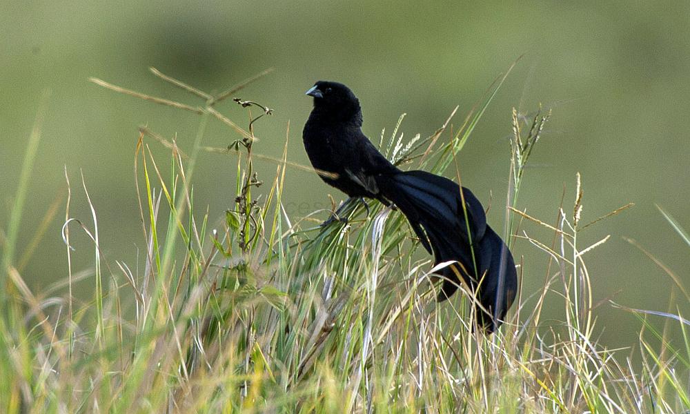 Jackson's Widowbird - (Euplectes jacksoni)