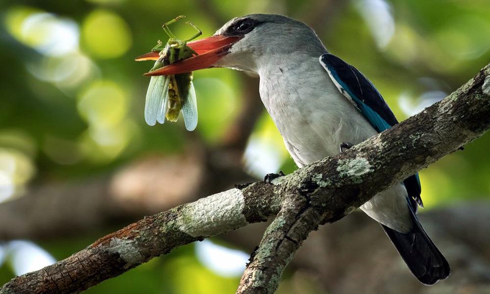 Mangrove Kingfisher - (Halcyon senegaloides)