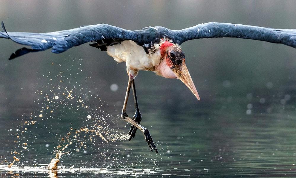 Marabou stork - (Leptoptilos crumenifer)