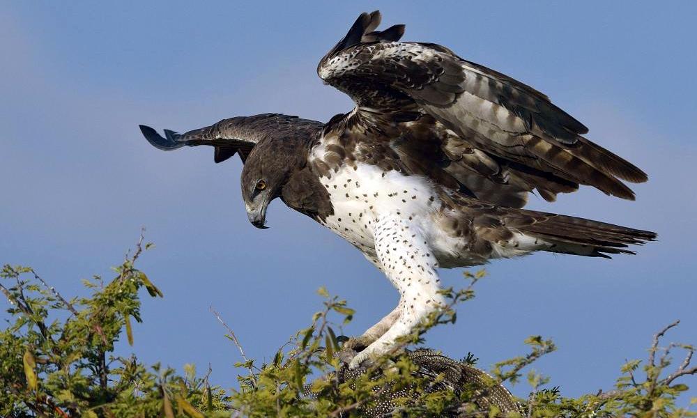Martial Eagle - (Polemaetus bellicosus)