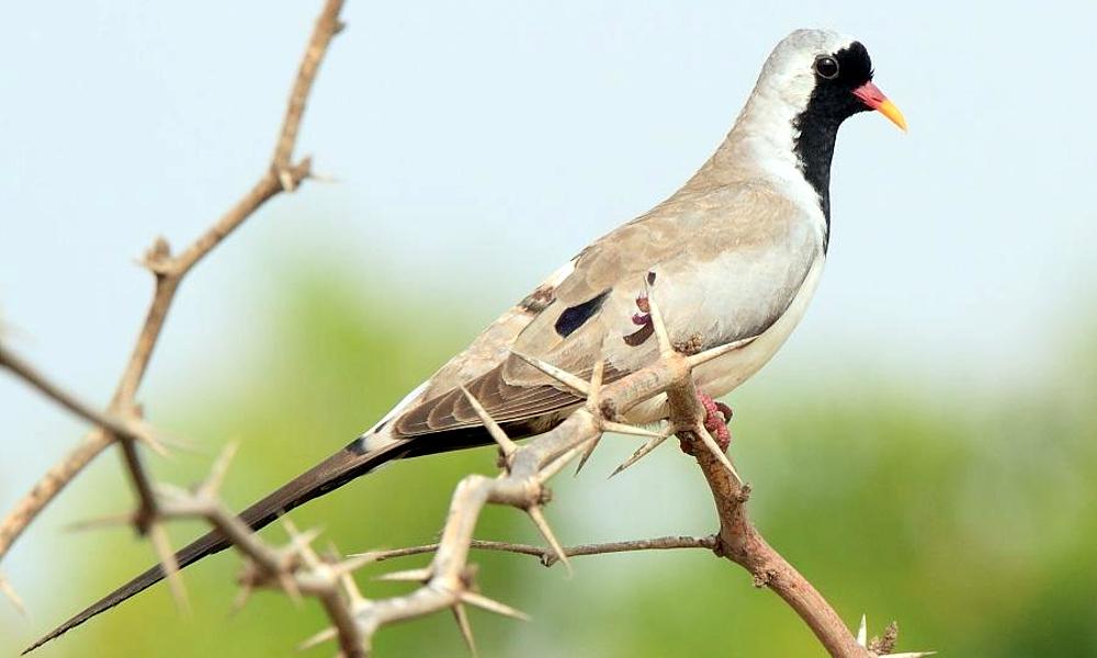 Namaqua Dove - (Oena capensis)