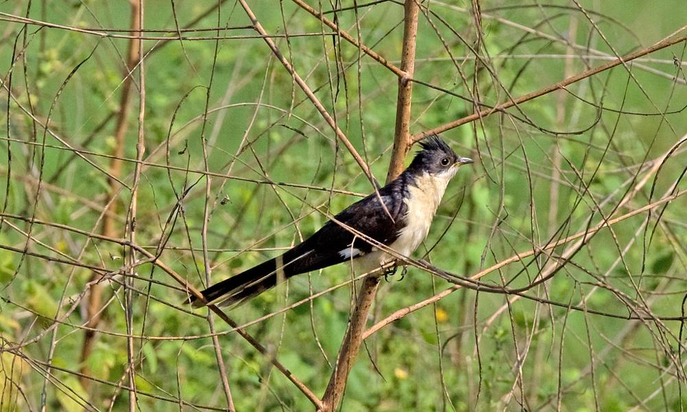 Pied Cuckoo or Jacobin Cuckoo or Black and White Cuckoo - (Clamator jacobinus)