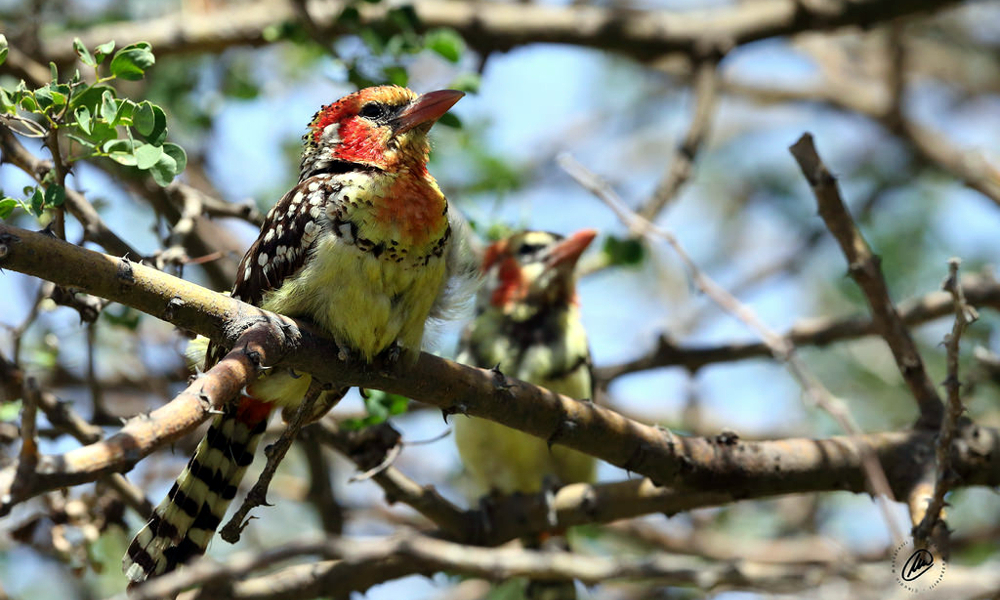 Red and yellow Barbet - (Trachyphonus erythrocephalus erythrocephalus)
