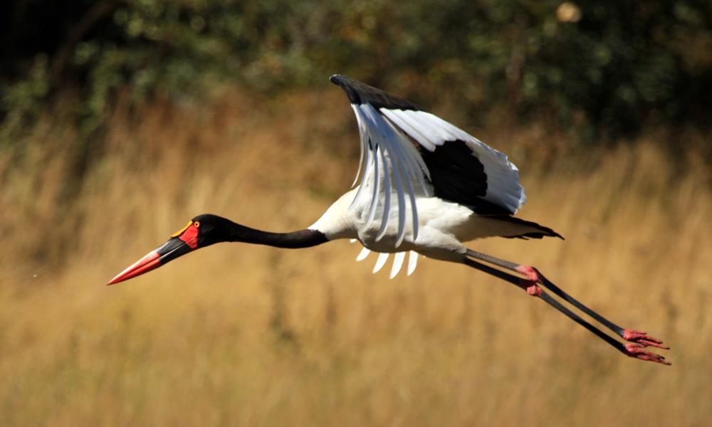 Saddle Billed Stork - (Ephippiorhynchus senegalensis)