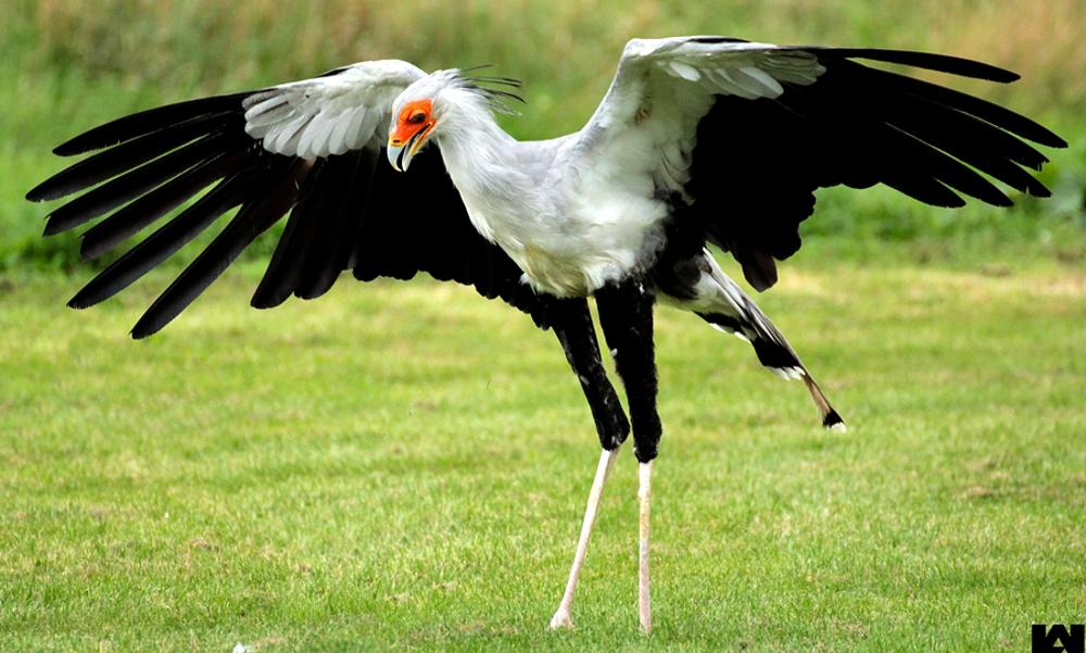 Secretary bird - (Sagittarius serpentarius)