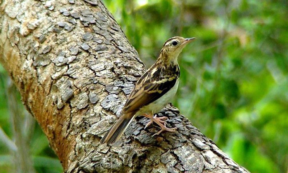 Sokoke Pipit - (Anthus sokokensis)