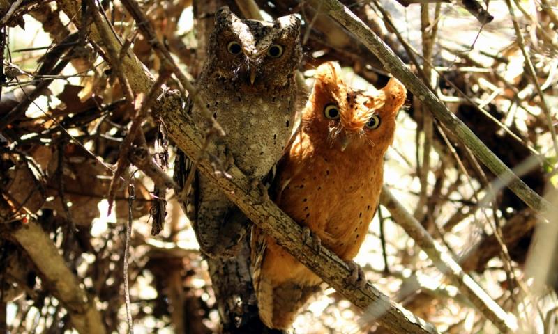 Sokoke Scops Owl - (Otus ireneae)