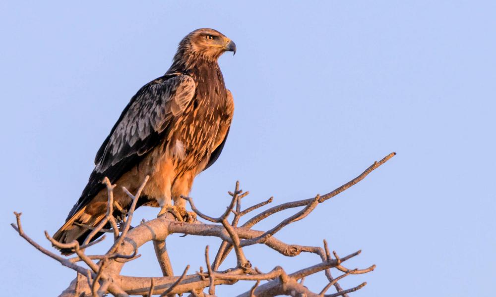 Tawny Eagle - (Aquila rapax)