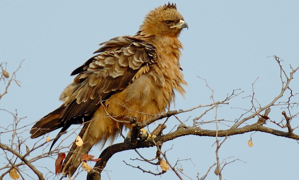 Wahlberg's Eagle - (Hieraaetus wahlbergi)