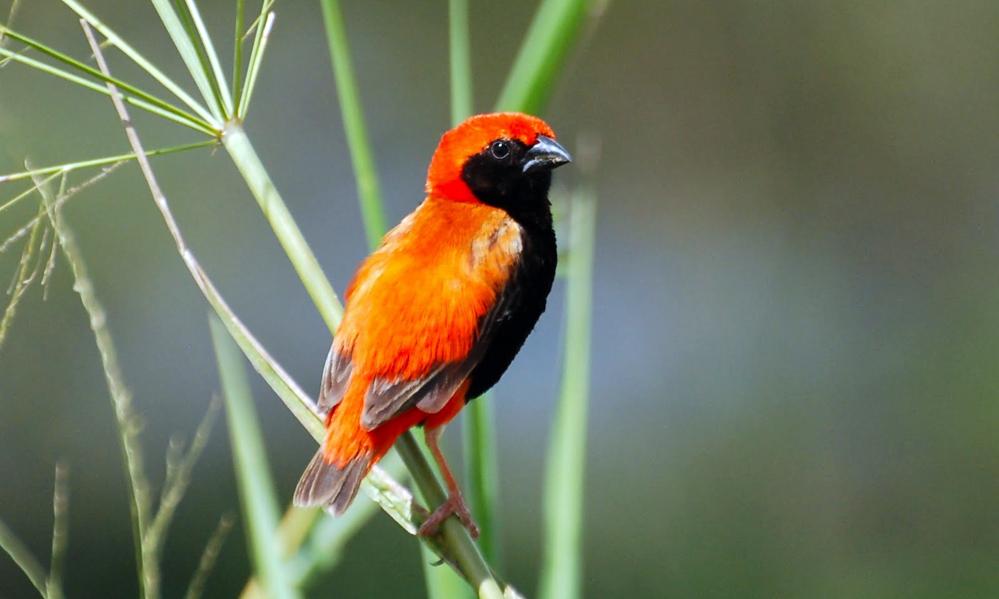 Zanzibar red Bishop - (Euplectes nigroventris)