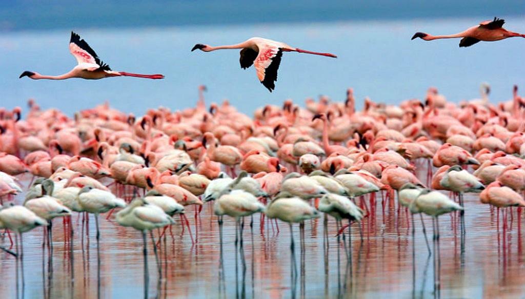 Flamingos - Kenya Rift Walley Lakes
