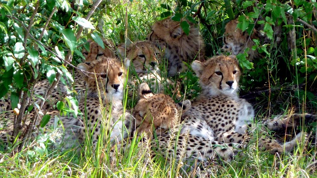 Cheetahs Masai Mara - Kenya