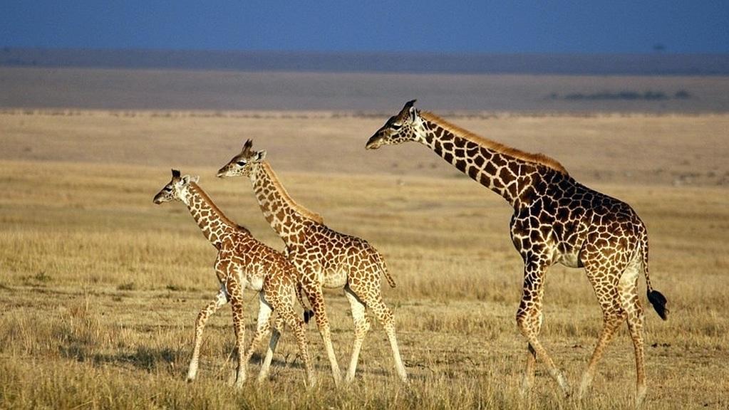Giraffes - Kenya