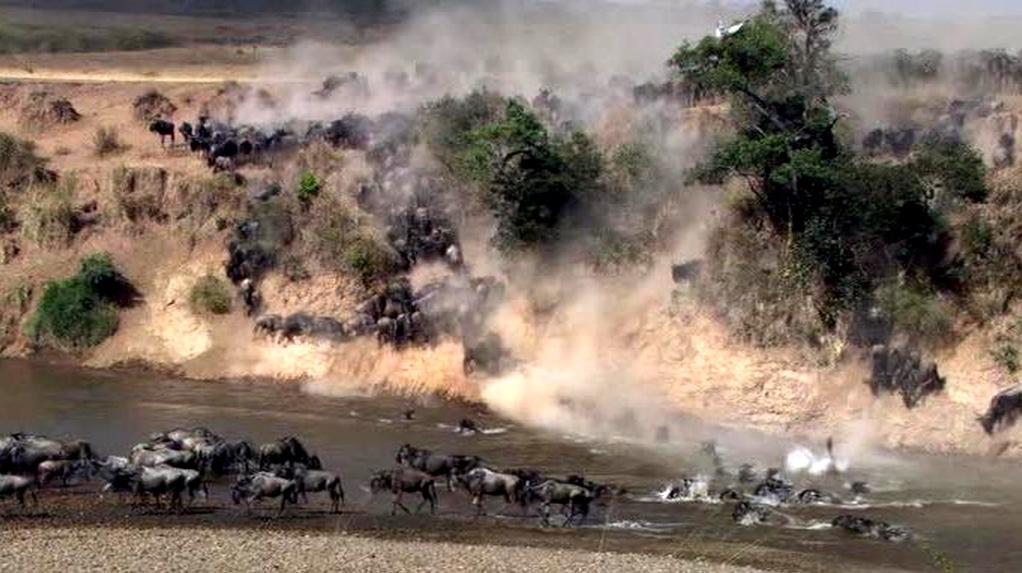 Wildebeests migration Masai Mara - Kenya