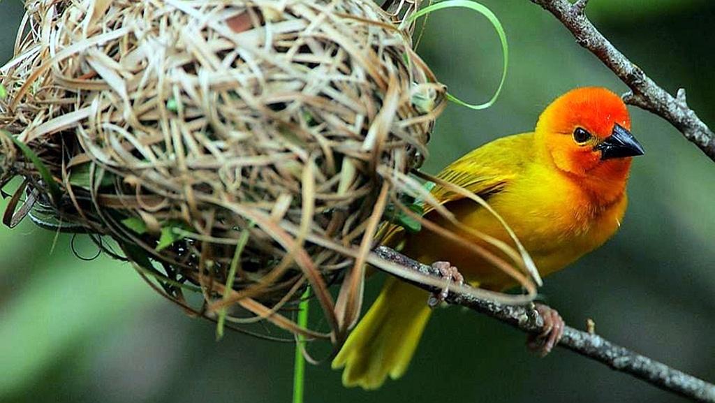 Golden Palm Weaver (Ploceus bojeri)