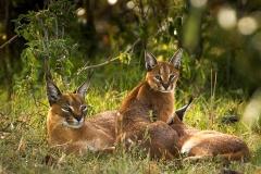 Caracal nursing cubs - Kenya