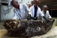 Members of the National Museum of Kenya show a coelacanth.