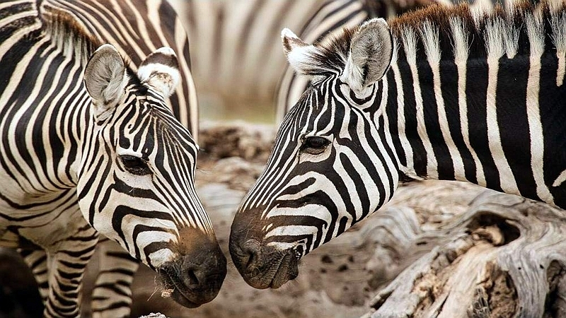 Two zebra nosing in Amboseli National Park