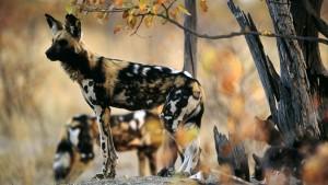African Wild Dog (Lycaon pictus)-Kenya Holidays