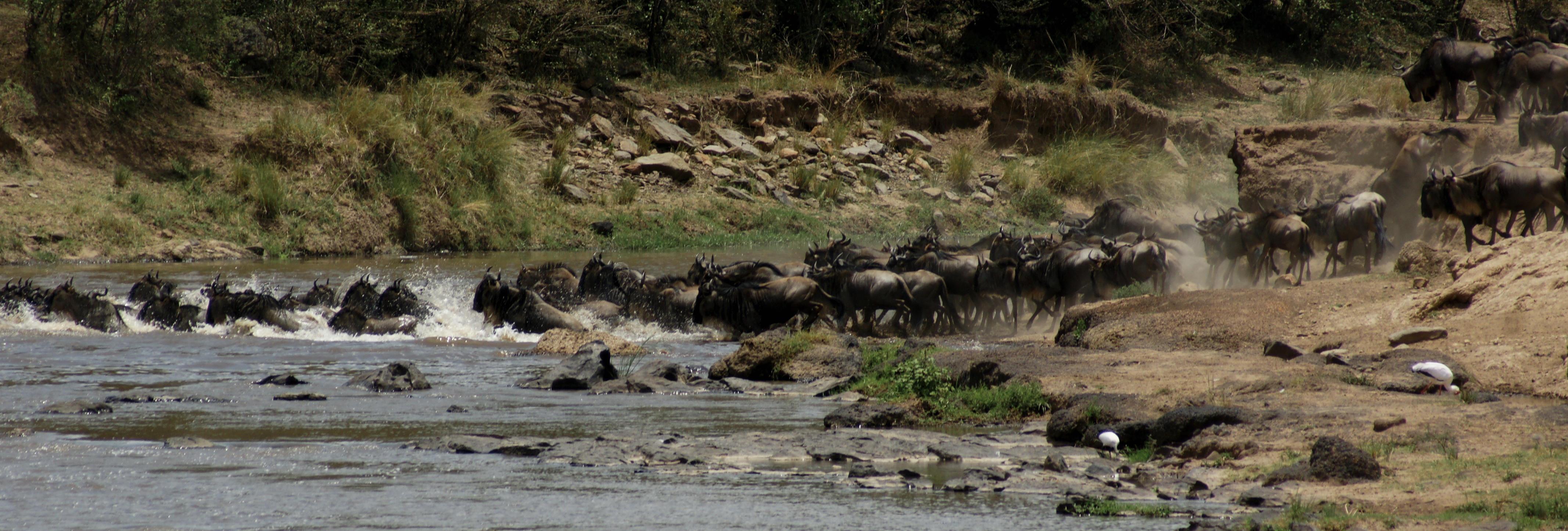 Gnus passing Mara River