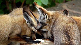 Bat-eared Fox-Kenya Holidays