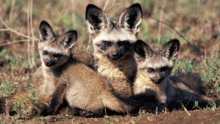 Bat-eared Fox-Canidae family-Kenya Holidays