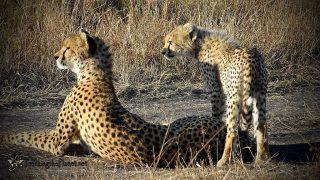Cheetahs-Masai Mara Reserve-Kenya Holidays