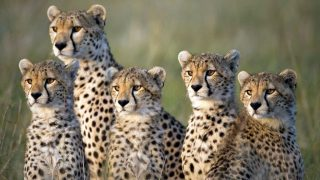 Adult cheetahs in the Masai Mara Reserve-Kenya