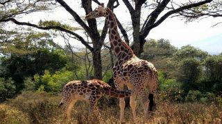 Giraffes in Meru National Park-Kenya Holidays