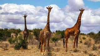 Giraffes in Tsavo East National Park-Kenya Holidays