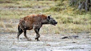 Hyena-Kenya Holidays