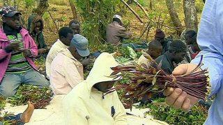 Khat-Miraa or Marungi-Kenya Holidays