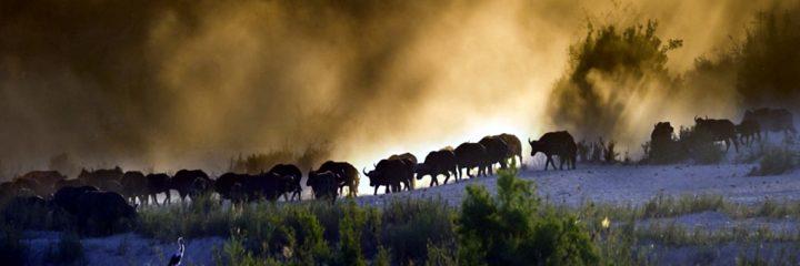 Buffalo herd in the savannah-Kenya Wildlife