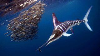 Striped Marlin-Kenya Holidays